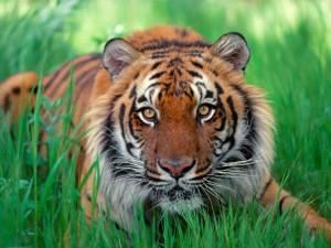 Elegant-Tiger-tigers-35204111-1600-1200